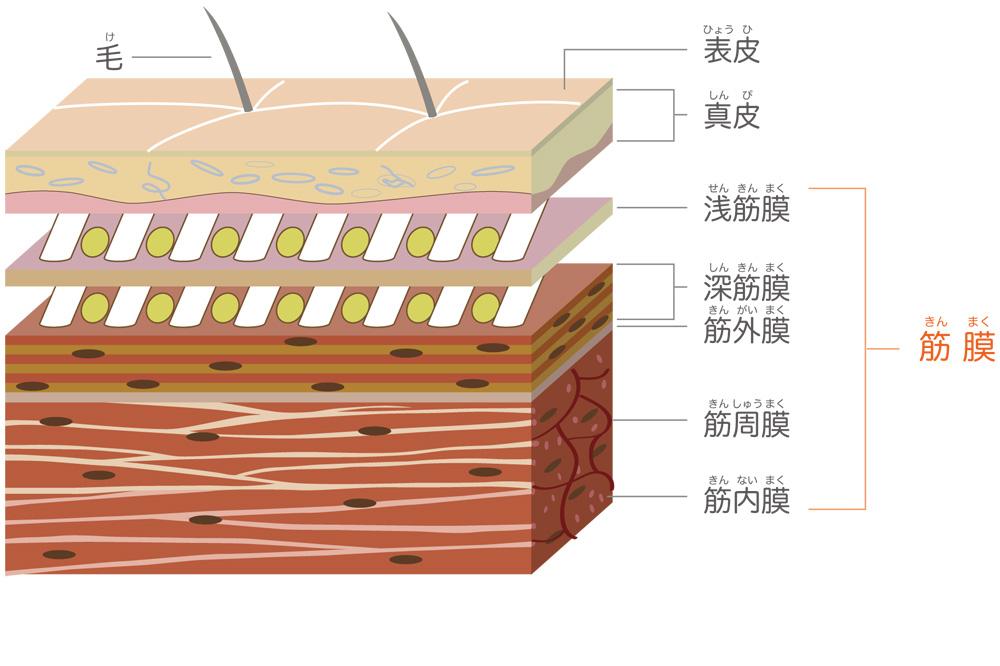 きのき接骨院 筋膜図